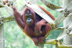 ORANG-OUTAN UTAN SUR UN HAMAC Photo stock