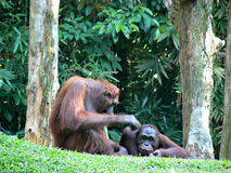 Orang-outan Utans Photo libre de droits