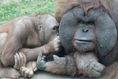 Orang-outang family Royalty Free Stock Images