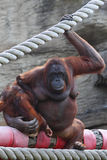 Orang-outang sits and hold of baby Royalty Free Stock Photos