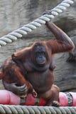 Orang-outang sitzt und Einfluss des Schätzchens Lizenzfreie Stockfotos