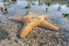 Orang sea star Stock Images