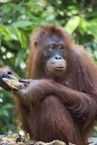 Orang-utan στο δάσος Kalimantan στοκ φωτογραφία με δικαίωμα ελεύθερης χρήσης