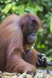 Orang-utan στο δάσος Kalimantan στοκ εικόνες με δικαίωμα ελεύθερης χρήσης