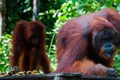 2 Orang Utan есть в Борнео Индонезии Стоковые Фото