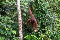 Orang utan на дереве на острове Борнео Стоковая Фотография