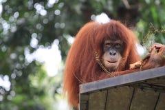 Orang utan на negara зоопарка Стоковое фото RF
