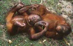 Orang utan, Сабах, Малайзия Стоковая Фотография