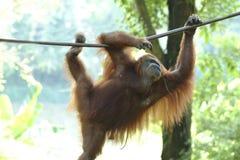 Orang utan, Сабах, Малайзия Стоковое фото RF