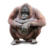 Orang Utan сидя на предпосылке whiteboard Стоковая Фотография RF