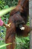 Orang Utan. Rehabilitated Orang Utan, Sarawak, Malaysian Borneo royalty free stock photos