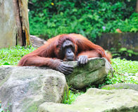 Orang-Utan. Sitting on ground. Singapore zoo Stock Photo