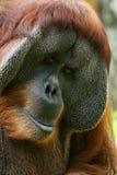 orang utan Стоковое Фото