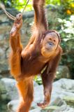 Orang-Utan Royalty Free Stock Photography