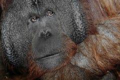 Orangutan primate Stock Image