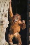Orang utan Royalty Free Stock Images