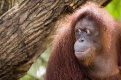 Orang Utan 2 Stock Photography