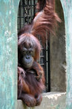 Orang-utan Royalty Free Stock Photo