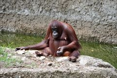 Orang-utan Royalty Free Stock Images