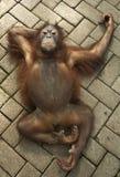 Orang Utan. Usually can we meet at Kalimantan Island at Indonesia as their habitat Stock Photos