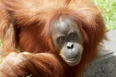 Orang Utan Stock Photos