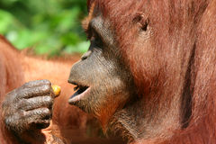 Orang utan. At singapore zoo Royalty Free Stock Photos