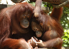 Orang Utan. Mother & child , tender moment Stock Image