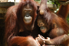 Orang Utan. Mother & child Stock Images