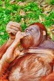 orang utan Стоковые Фотографии RF