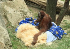 Orang-utan Στοκ φωτογραφίες με δικαίωμα ελεύθερης χρήσης