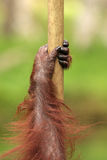 Orang Utan Royalty Free Stock Photos