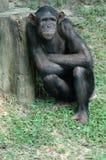 Orang utan Photo libre de droits