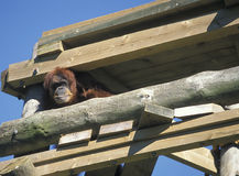 Orang-utan Stock Photo