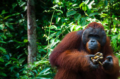 Orang Utan alpha male with banana in Borneo Stock Photography