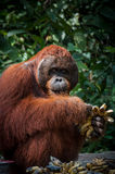 Orang Utan alpha male with bananas in Borneo Indonesia Royalty Free Stock Photography