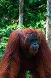 Orang Utan alpha male standing in Borneo Indonesia Royalty Free Stock Photo