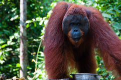 Orang Utan alpha male standing in Borneo Indonesia Royalty Free Stock Photos