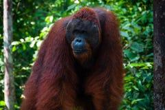 Orang Utan alpha male standing in Borneo Indonesia Stock Photos