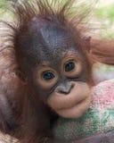 Orang-Utan - Baby mit lustigem Gesicht Stockbild