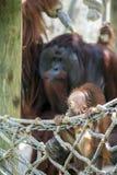 Orang-Utan Baby mit Mutter-Vati hinten Lizenzfreies Stockbild