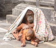 Orang utan with baby playing under a blanket royalty free stock image