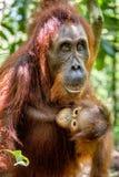 Orang-Utan Baby saugt seine Mutter ` s Muttermilch Lizenzfreie Stockfotos