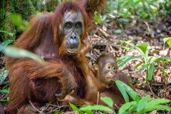 Orang-Utan Baby und Mutter Stockfotografie