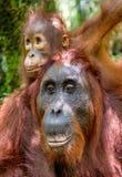 Orang-Utan Baby und Mutter Stockfotos