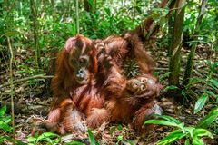 Orang-Utan Baby und Mutter Stockfoto
