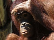 Orang-Utan Blick heraus Lizenzfreies Stockfoto