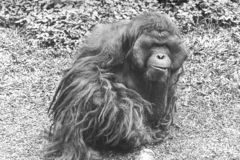 Orang Utan, big, hairy adult male relaxed on the grass, waiting visitors to feed him. royalty free stock photography