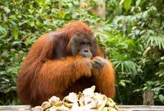 Orang-Utan in Borneo Indonesien Lizenzfreies Stockfoto