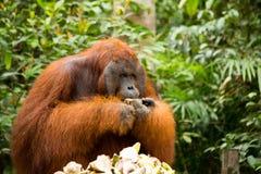 Orang-Utan in Borneo Indonesien Lizenzfreie Stockfotografie