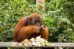 Orang-Utan in Borneo Indonesien Stockfotografie
